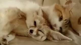 Кот и домашний фенёк пустынный лис