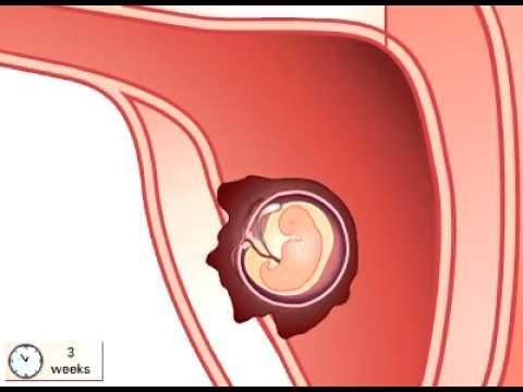 Video clip  Qúa trình thụ thai và phát triển