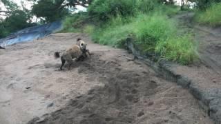 Hyena steals leopard kill
