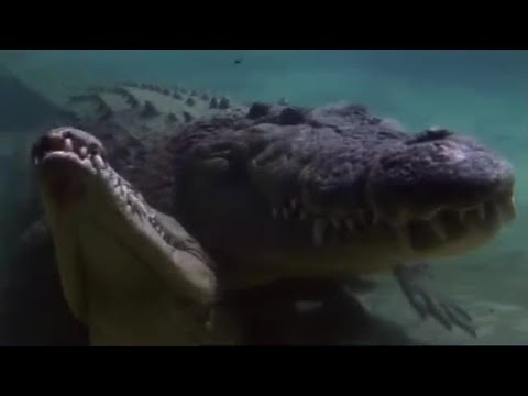Attenborough: Bubble Blowing Salt Water Crocodiles - Life in Cold Blood - BBC wildlife