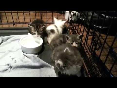 Feral kittens hissing
