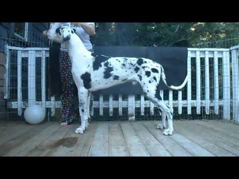 Dog Show Stacking