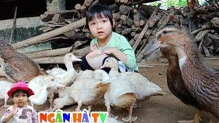 Cho gà ăn ngân hà đi gõ mõ gọi đàn ngan với vịt về cho ăn ❤Ngân hà TV❤