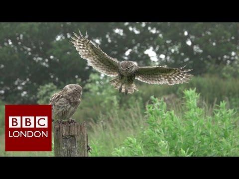 Filming wildlife in London – BBC London News