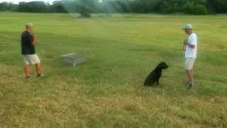 Retriever Training Sequence . . . Mastering Important Skills