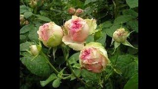 видео Обрезка полиантовых роз