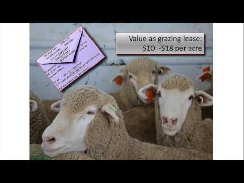 Targeted Sheep Grazing in Organic Dryland Systems