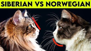 NORWEGIAN Forest Cat Vs SIBERIAN Cat   What Are Their Differences?