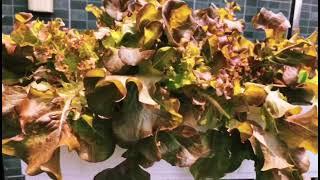 대량 실내 딸기수경재배 상추수경재배 집에서채소키우기