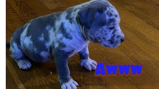 MY BLUE MERLE... Welcome home Hennessy (AMERICAN BULLY) BLUE MERLE