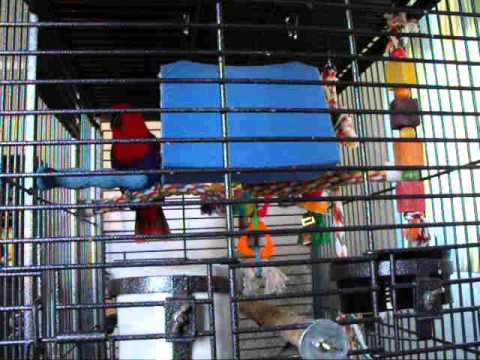 Eclectus Parrot Jodi talking and laughing