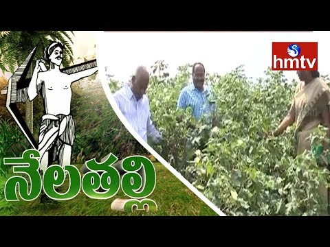 Scientists Research On Organic and Chemical Farming | Nela Talli Special Focus | hmtv