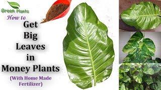 Best & Effective fertilizer to Get BIG LEAVES in money Plant | Homemade Fertilizer //GREEN PLANTS