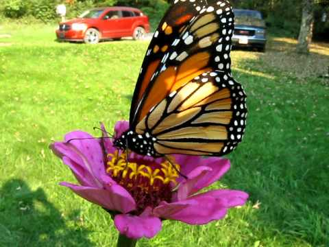 Monarch Erfly Sipping Nectar