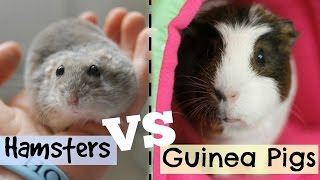 HAMSTERS VS GUINEA PIGS | Hamster HorsesandCats