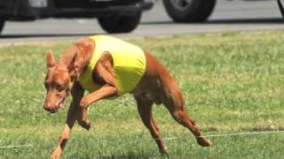 Pharaoh Hounds lure coursing in Riverside, CA and Chino, CA. April ...