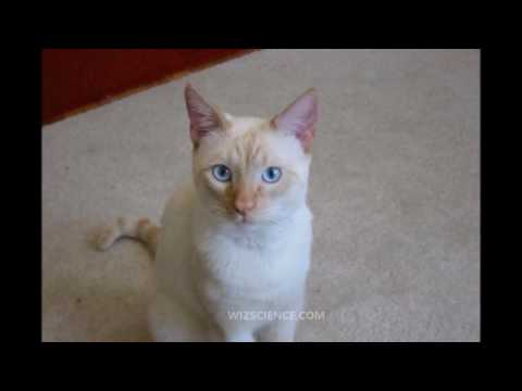 Colorpoint Shorthair Cat