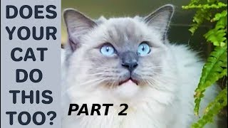 Does Your Cat Do This Too? - Poll. Part 2 Compilation with Bowie The Ragdoll Cat