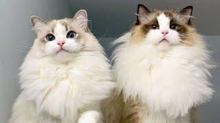 FUNNY & CUTE RAGDOLL CATS IN TIKTOK | ctto #cuteandfunny