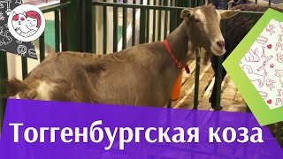 Тоггенбургская коза. Особенности породы, уход