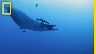 How Do You Get a Camera to Stick to a Manta Ray? Peanut Butter | National Geographic thumbnail