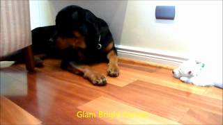 Puppies And Uncle Viggo - West Highland White Terrier & Rottweiler
