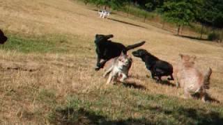 「行く?」 に反応する可愛いお耳。 毎朝犬公園で遊んでいる黒ラブの金...