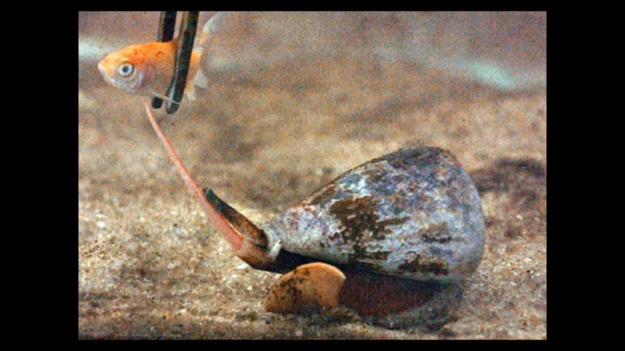 mermeryüzlü salyangoz ile ilgili görsel sonucu