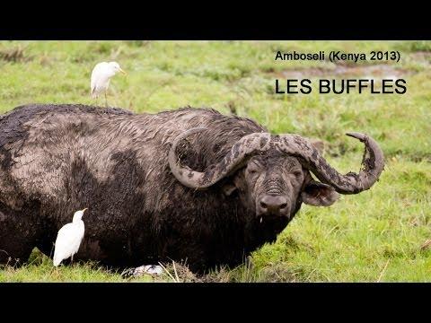 hqdefault - Buffles