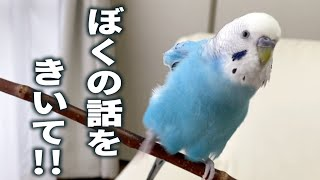 Budgie Has Favour to Ask. Please Listen to Me!