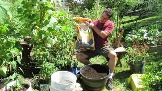 Growing Fall Peas in  Containers Using Old Soil & Some Organic Fertilizer: That's It! - A KIS Series