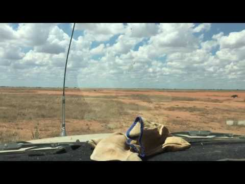 Hunting Boar, Ivanhoe, NSW