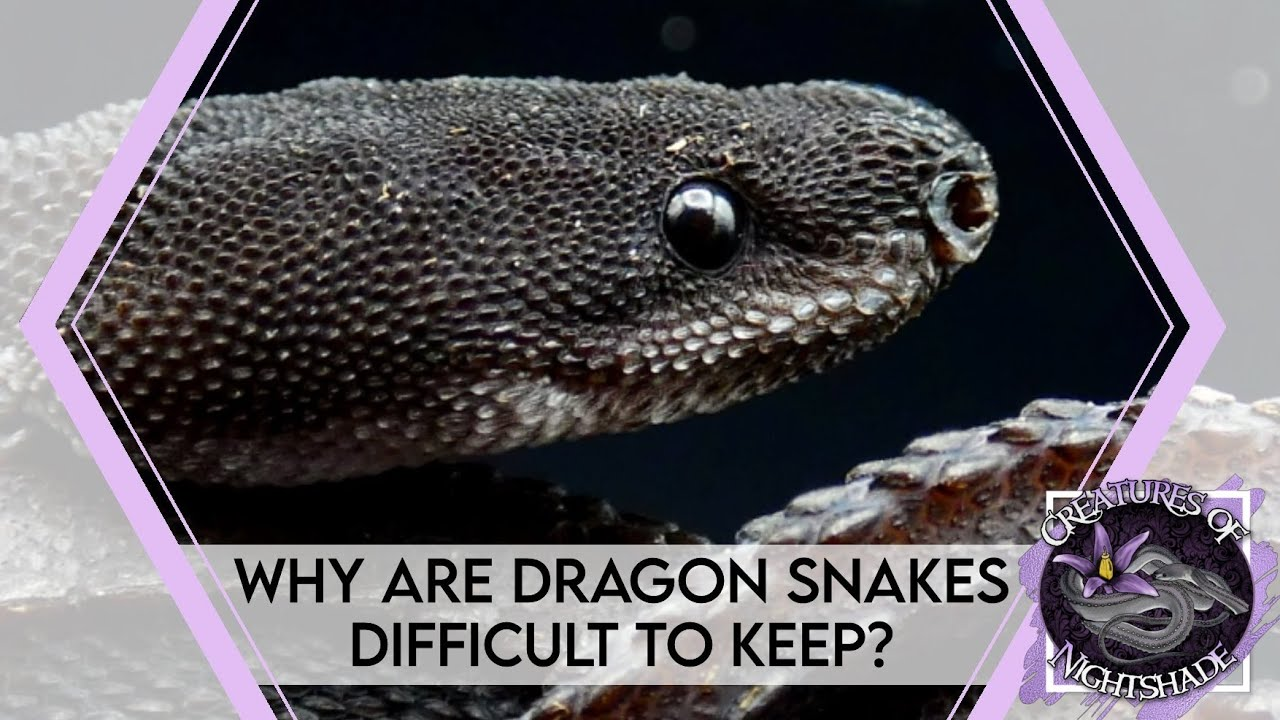 Why Are Dragon Snakes Difficult to Keep? | Creatures of Nightshade