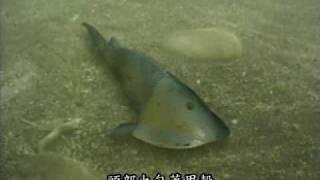 半環甲魚 Hemicyclaspis