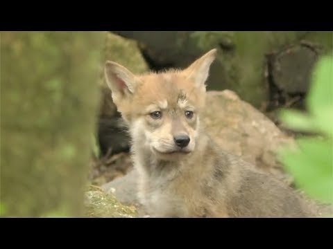 Rare Mexican Wolf Cubs Make Public Debut At Mexico City Zoo