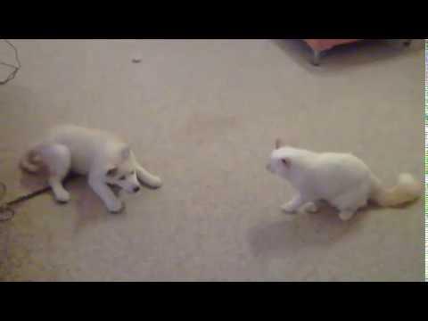 ragdoll kitten vs siberian husky puppy