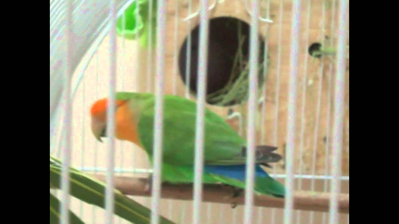 my lovebirds nesting materials and their nest box youtube