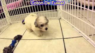 Coton De Tulear, Puppies, For, Sale, In, Olathe, Kansas, County, Ks, Fairfield, Litchfield, Middlese