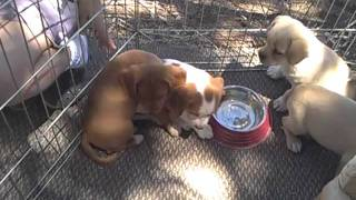 Jack Russel/king Charles Spaniel Mixed Puppies