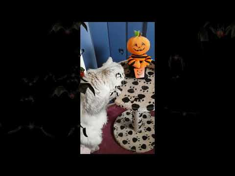 Bellamy, the Burmilla cat & Halloween Creatures