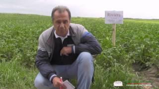 Урожайность картофеля Ривьера на 60-тый день после посадки(, 2015-06-30T11:18:03.000Z)