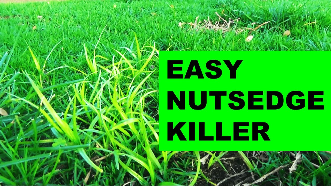 How To Get Rid Of Nutsedge In The Lawn The Easy Way