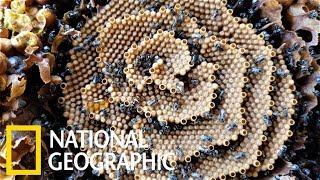 別管「蜂蜜檸檬」了,這種蜂無螫針,還會建造螺旋蜂巢!《國家地理》雜誌