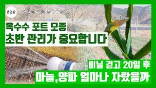 봉춘팜 옥수수,마늘,양파농사|중간점검! 옥수수 모종, …