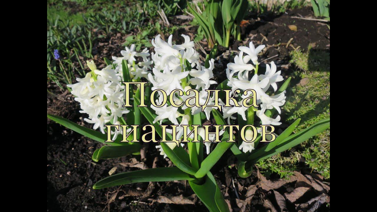 Doit On Deterrer Les Oignons De Tulipes fleurs de jacinthe - soins et plantation, vinaigrette et