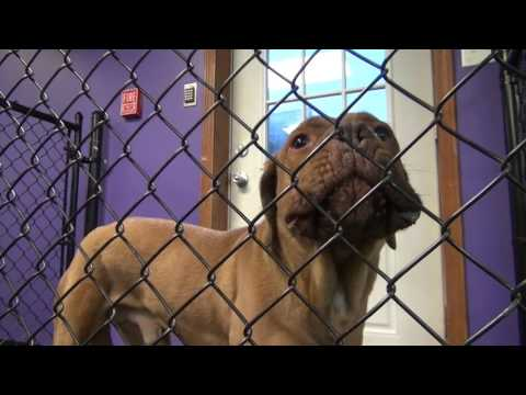 Fear Aggressive Mastiff Day 1
