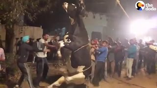 2 Bulls Trapped In 50-Feet Well Rescued | The Dodo