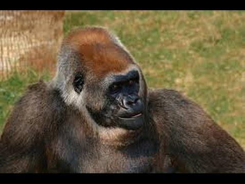 Documentary Apes HD 2017 - Mountain Gorillas Ape monkey