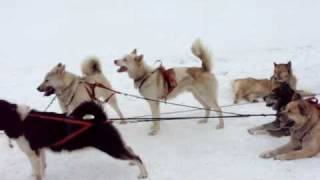 Husky Dogs Pulling Sled
