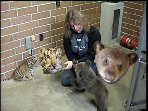 TIGER CUB & BEAR CUB -  © Denmortube
